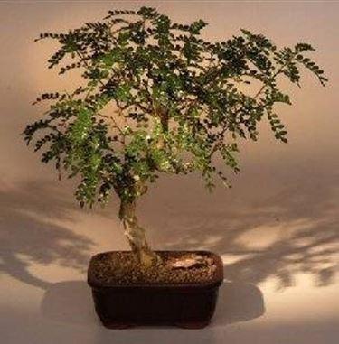 Bonsai pepper domande e risposte giardino for Bonsai pianta
