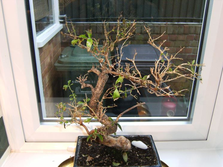 bonsai senza foglie