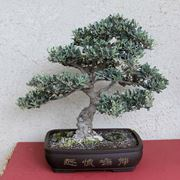 bonsai di ulvio