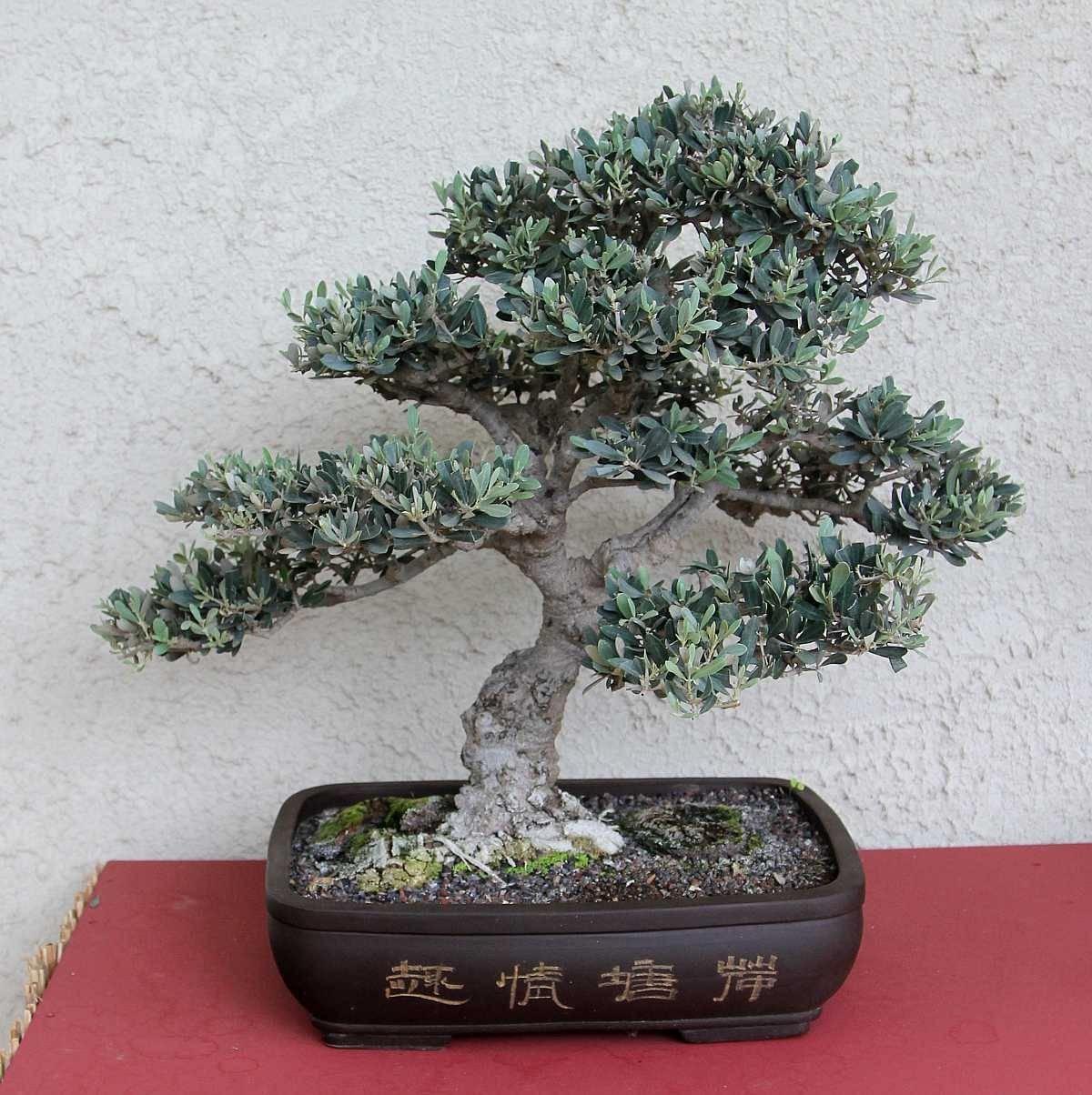 bonsai di ulivo domande e risposte bonsai