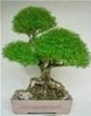 Bonsai di serissa