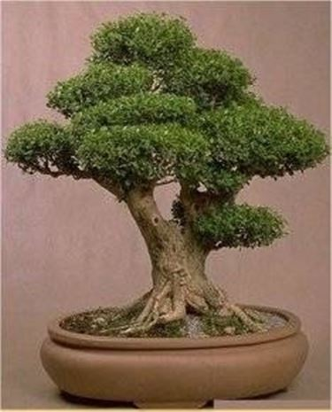 Bonsai di bosso