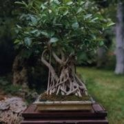 Ficus retusa bonsai