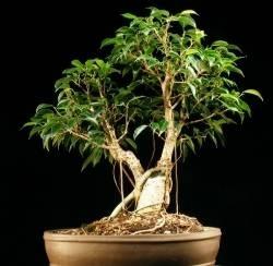 Ficus senza foglie domande e risposte bonsai for Bonsai da interno