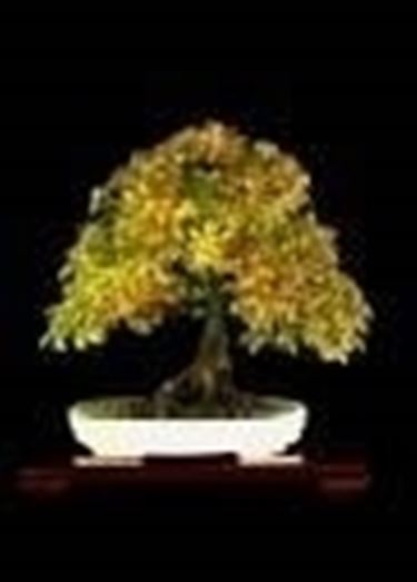 Bonsai di carpino