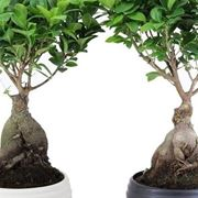 bonsai ficus perde foglie