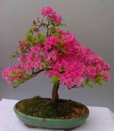 Foglie gialle azalea domande e risposte bonsai - Azalea foglie ...