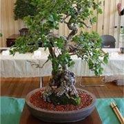 Domande e risposte bonsai come coltivare il bonsai for Glicine bonsai prezzo