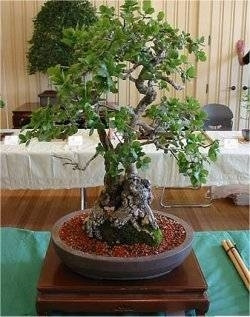 Ghianda da seme domande e risposte bonsai for Pianta di vite in vaso