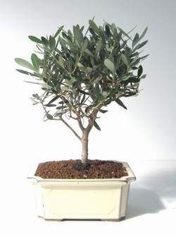 Help su bonsai olivo domande e risposte bonsai for Olivo bonsai prezzo