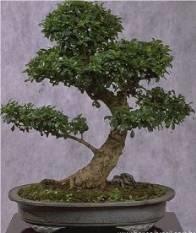 Potatura domande e risposte bonsai for Tipi di bonsai