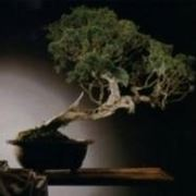 bonsai cipresso