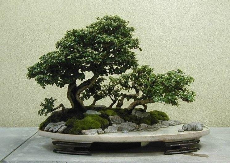 Problemi di annafiatura domande e risposte bonsai