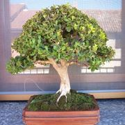 Bosso bonsai