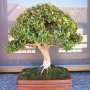 Bosso bonsai