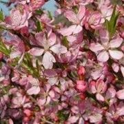 Prunus da fiore