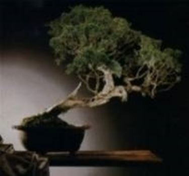 Bonsai di cipresso