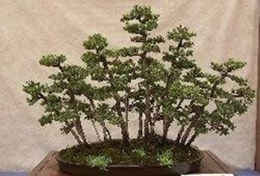 Conifere bonsai