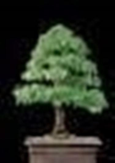 Olmo bonsai