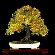 carpino bonsai