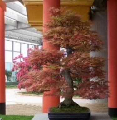 Acero bonsai da esterno
