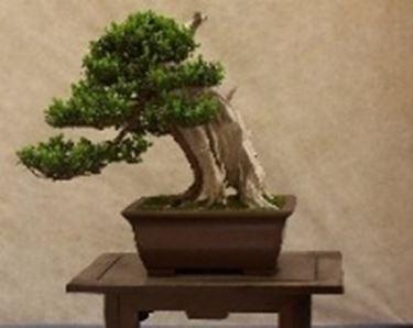 Bonsai di conifere