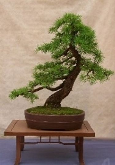 Bonsai di conifere