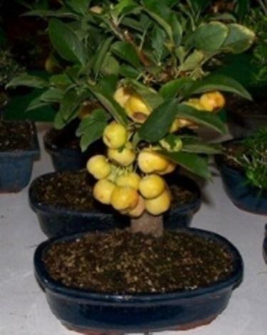 Bonsai da frutto schede bonsai bonsai da frutto bonsai for Bonsai da frutto vendita
