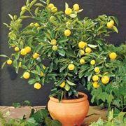 bonsai limone