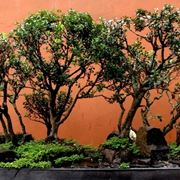 Bonsai a Boschetto