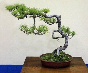 Bonsai abete