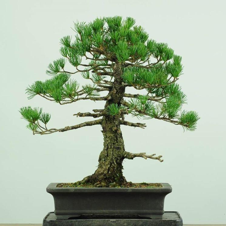 Bonsai abete schede bonsai for Acero rosso canadese prezzo