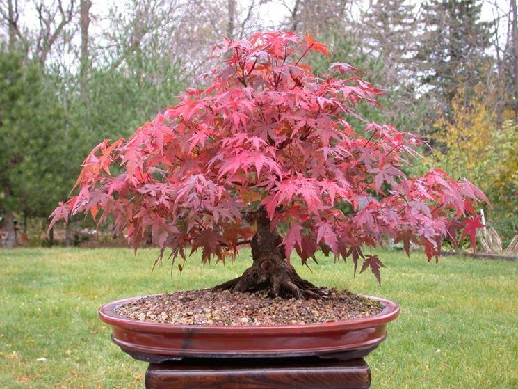 Vivaio Acero Rosso : Stupendo acero rosso palmatum in tessin kaufen tutti