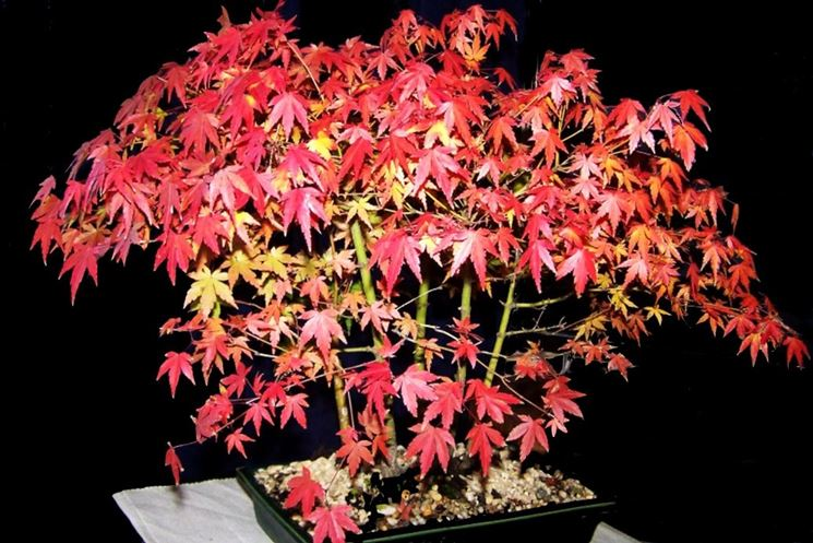Bonsai acero autunno