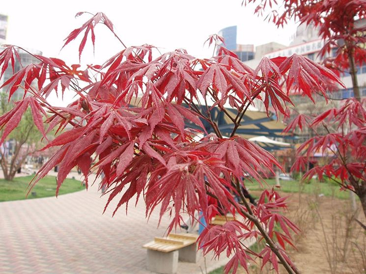 Rami bonsai