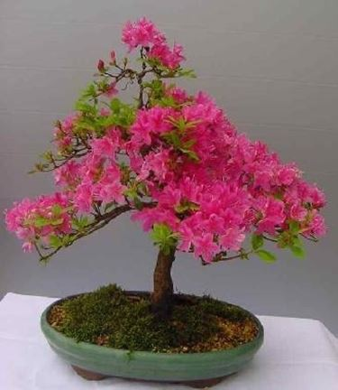 bonsai azalea schede bonsai