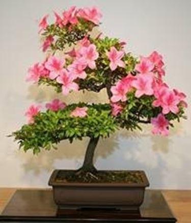 bonsai camelia