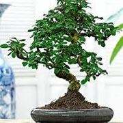 bonsai carmona