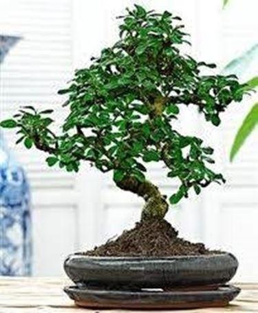 bonsai <em>carmona</em>