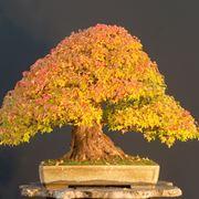 bonsai pianta