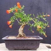 pianta bonsai