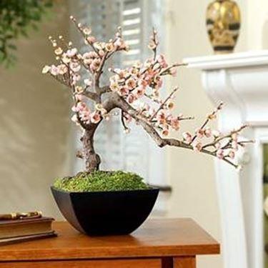 Bonsai ciliegio schede bonsai for Bonsai da frutto vendita