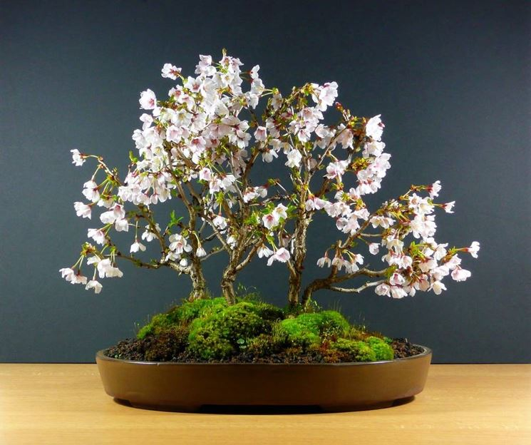 Bonsai ciliegio schede bonsai for Ciliegio prezzo
