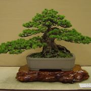 bonsai cura