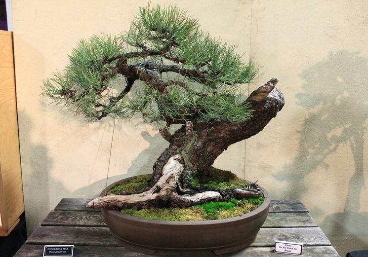 Pino giallo bonsai