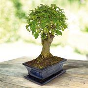 curare bonsai