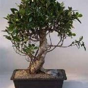 bonsai cura