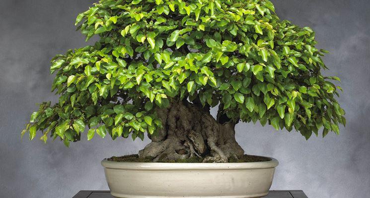faggio bonsai
