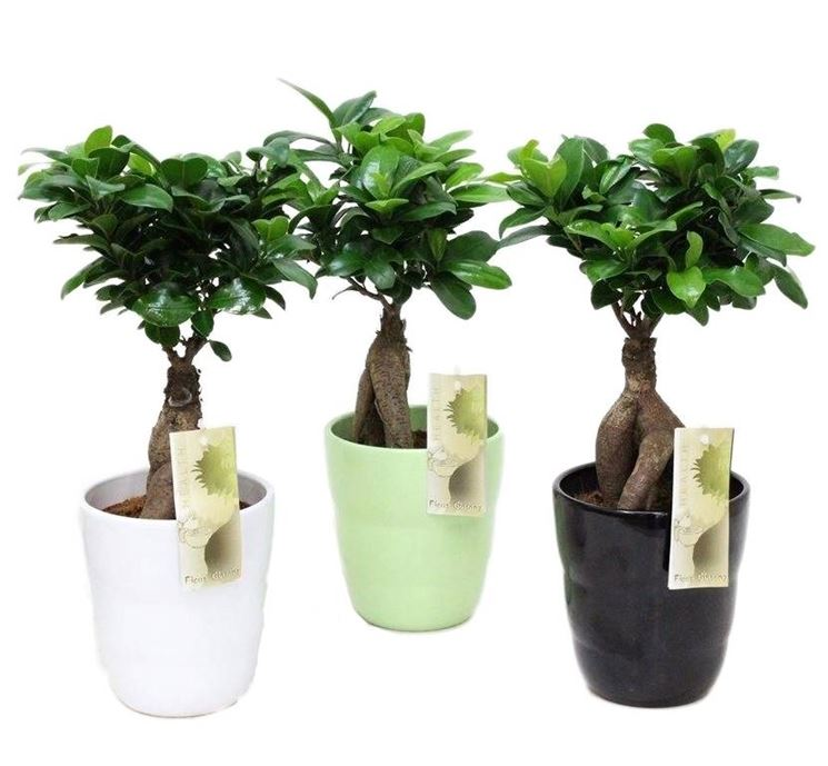 bonsai ficus ginseng schede bonsai. Black Bedroom Furniture Sets. Home Design Ideas