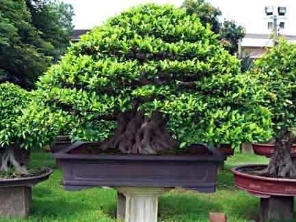 Bonsai Ficus Microcarpa Schede Bonsai
